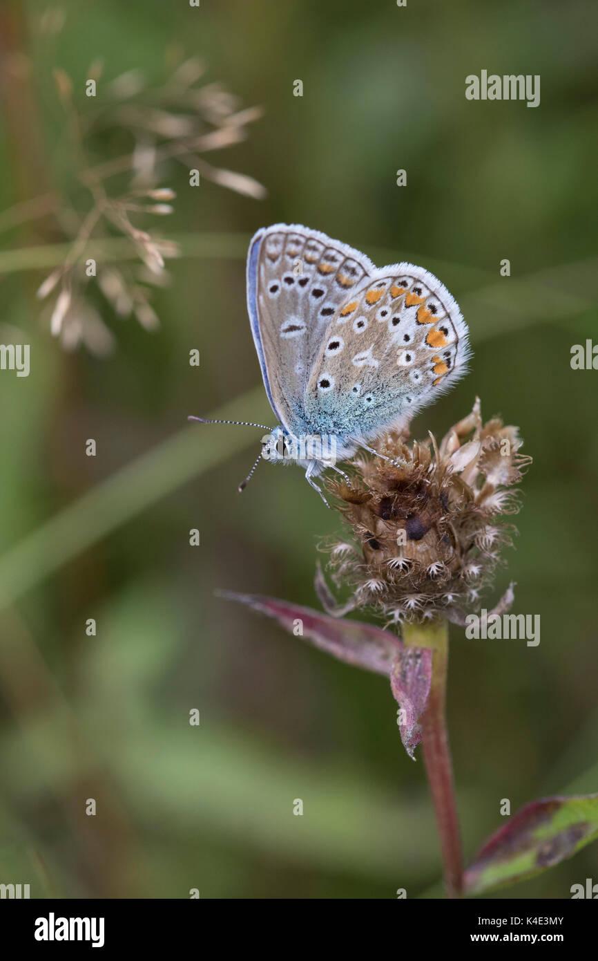 Mariposa Azul común, Polyommatus icarus, solo adulto descansando sobre seco mala hierba común, Centaurea nigra, la cabeza de la flor. De Worcestershire, Reino Unido. Imagen De Stock