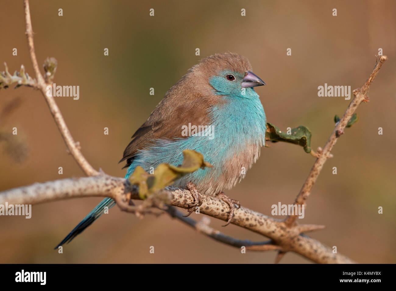 Azul (waxbill uraeginthus angolensis), el parque nacional Kruger, Sudáfrica, África Foto de stock