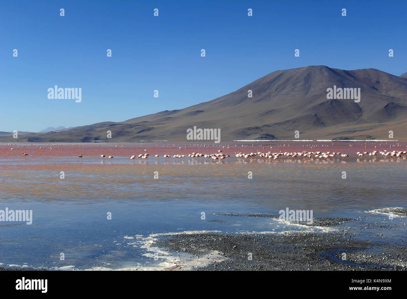 La Laguna Colorada (laguna colorada), Reserva de Fauna Andina Eduardo Avaroa, sur de Bolivia. Imagen De Stock