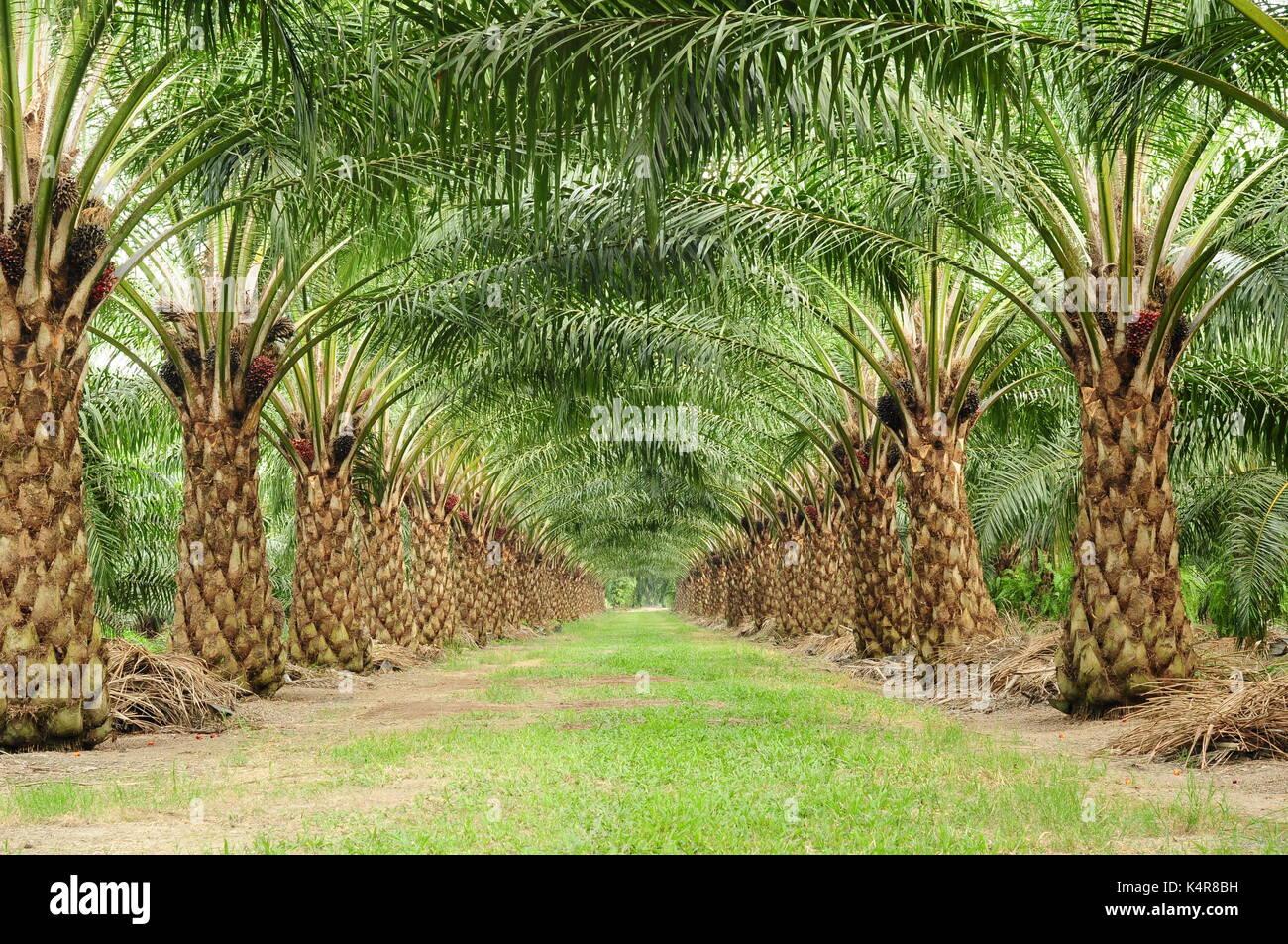 Hermoso de unmatured palmera de aceite en un campo Imagen De Stock