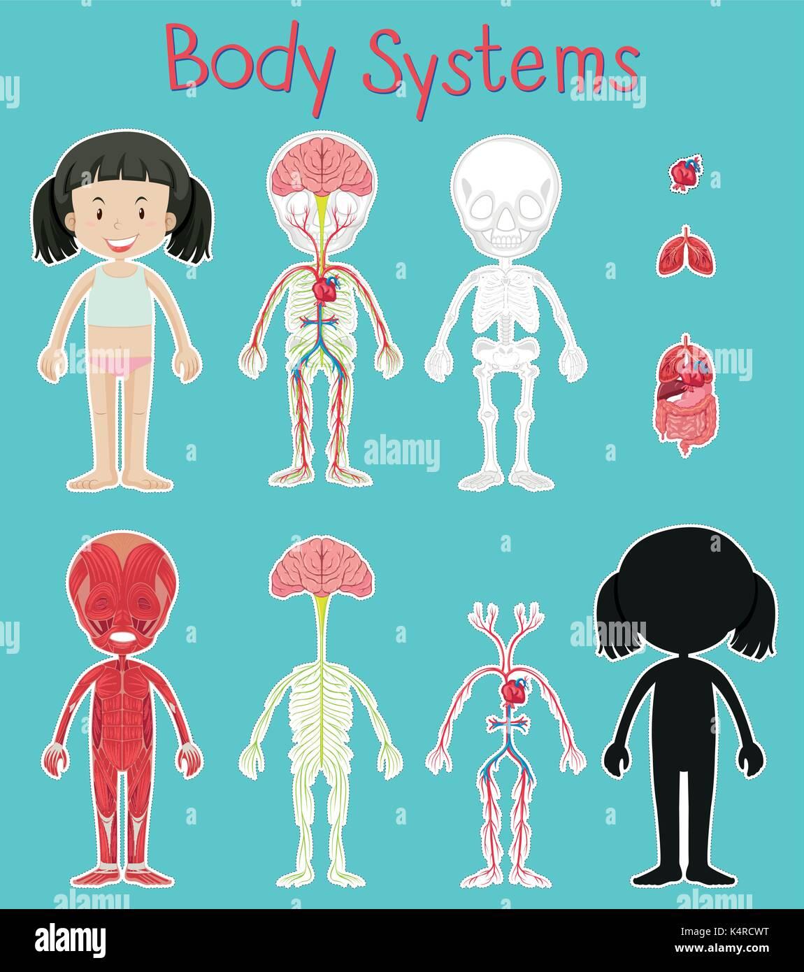 Perfecto Sistema Corporal Viñeta - Imágenes de Anatomía Humana ...