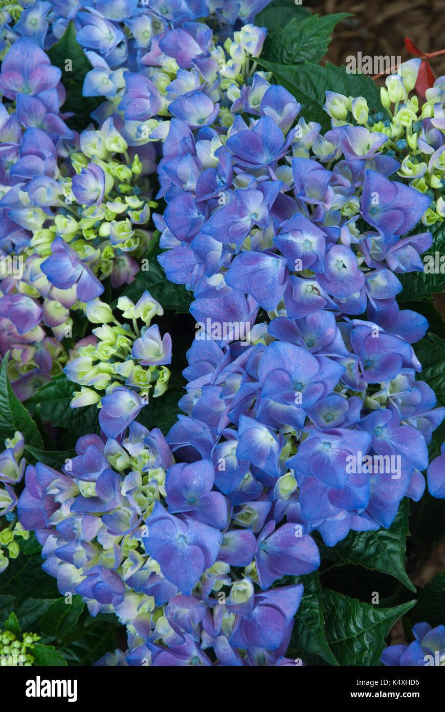 Hydrangea azul brillante, Amor, mophead. Imagen De Stock