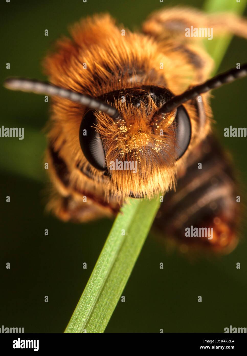 abeja minera Foto de stock