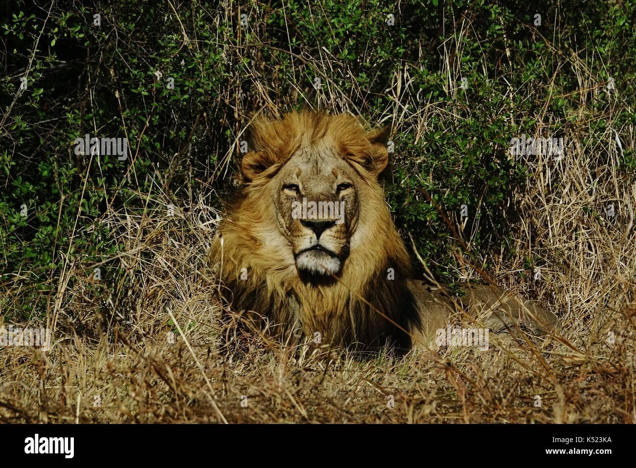 Cabeza de león macho descansando Imagen De Stock