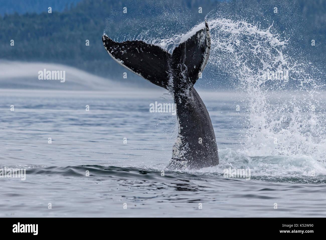 Ballena Jorobada salpicaduras con su cola en el estrecho Queen Charlotte en el norte de la isla de Vancouver, British Columbia, Canadá. Foto de stock