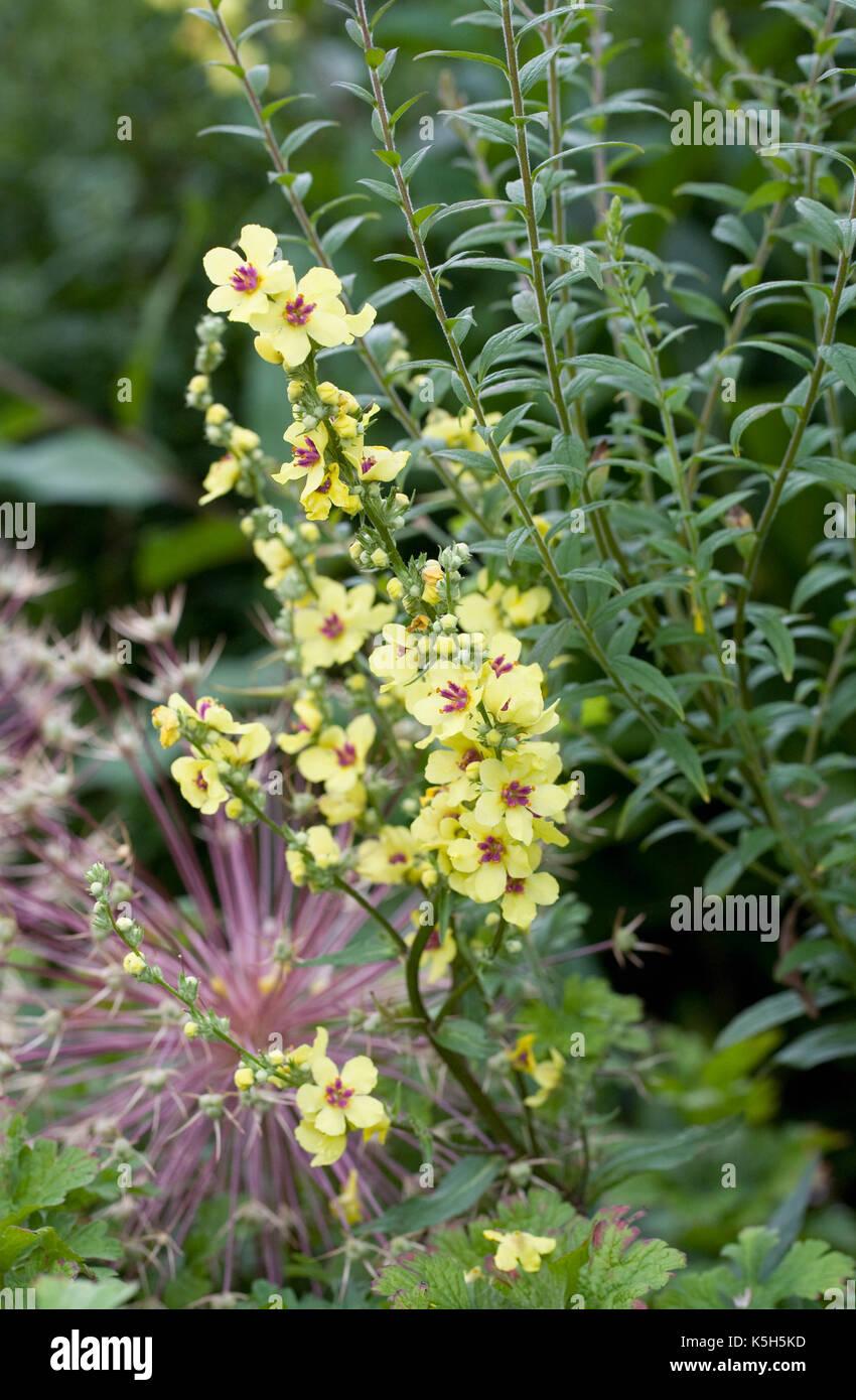 El verbascum chaixii 'sixteen velas' en una frontera herbácea. Foto de stock