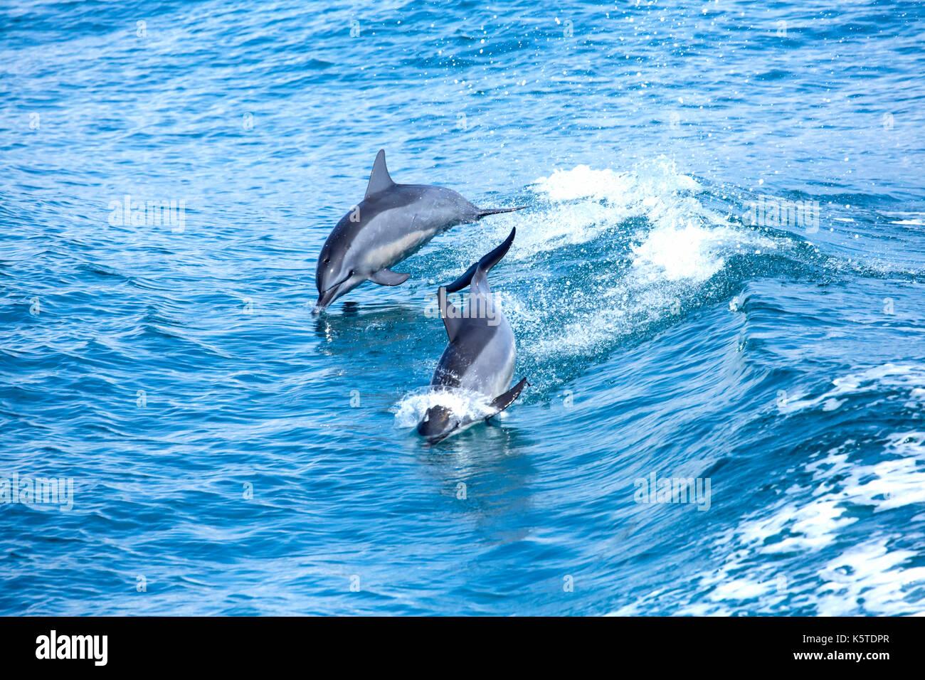 Gray's delfines o hawaiano delfines (Stenella longirostris) una zambullida en el océano Pacífico frente a la costa este de Taiwán Imagen De Stock