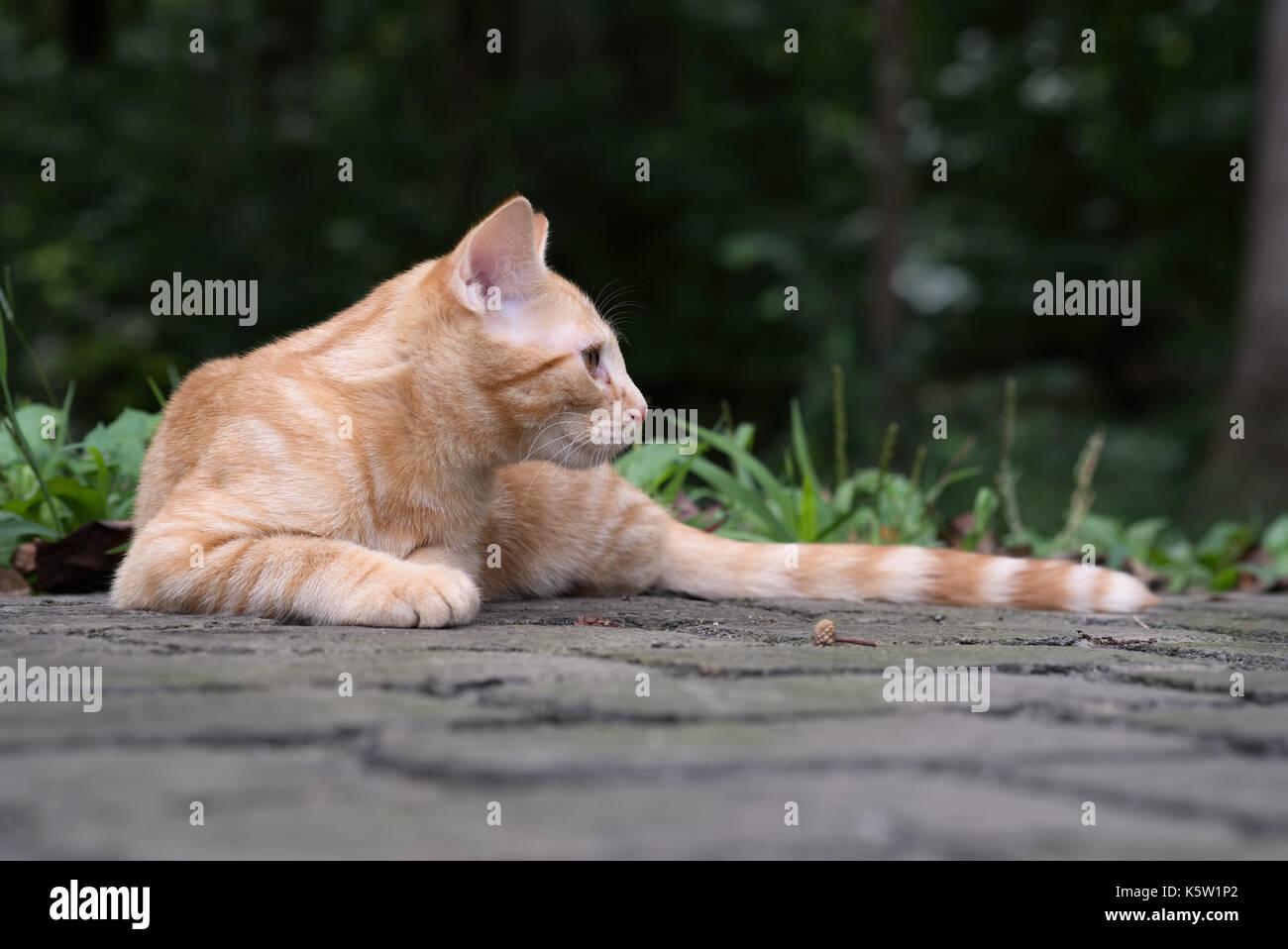 Orange kittn acostado afuera, prestando atención. Imagen De Stock