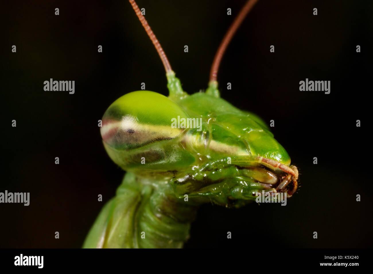 La Unión mantis (Mantis) retrato Imagen De Stock