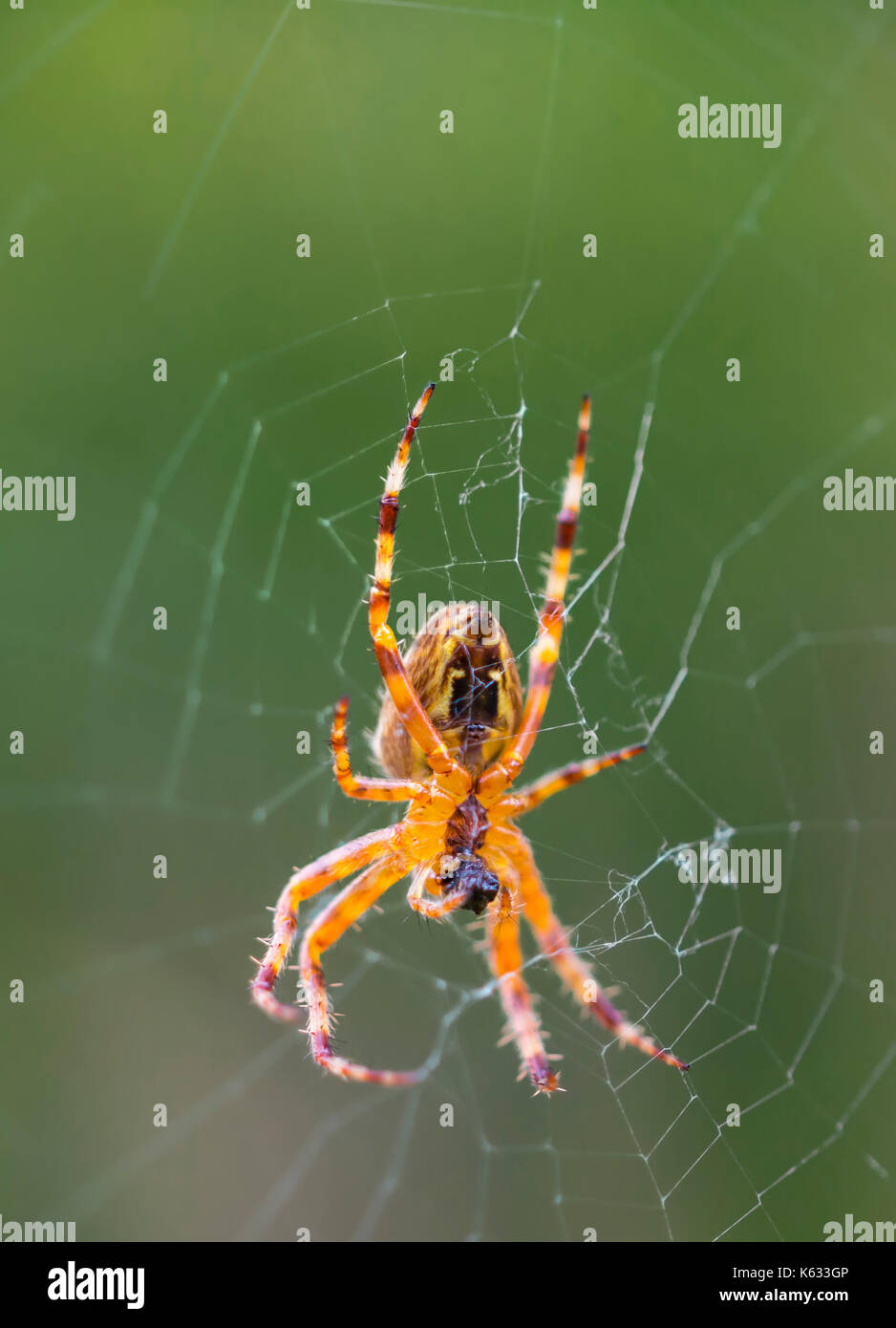 Araneus Diadematus (European araña de jardín, Diadema, araña araña Cruz), una araña tejedora de Orb en un web en otoño en el Reino Unido. Spiderweb macro. Imagen De Stock