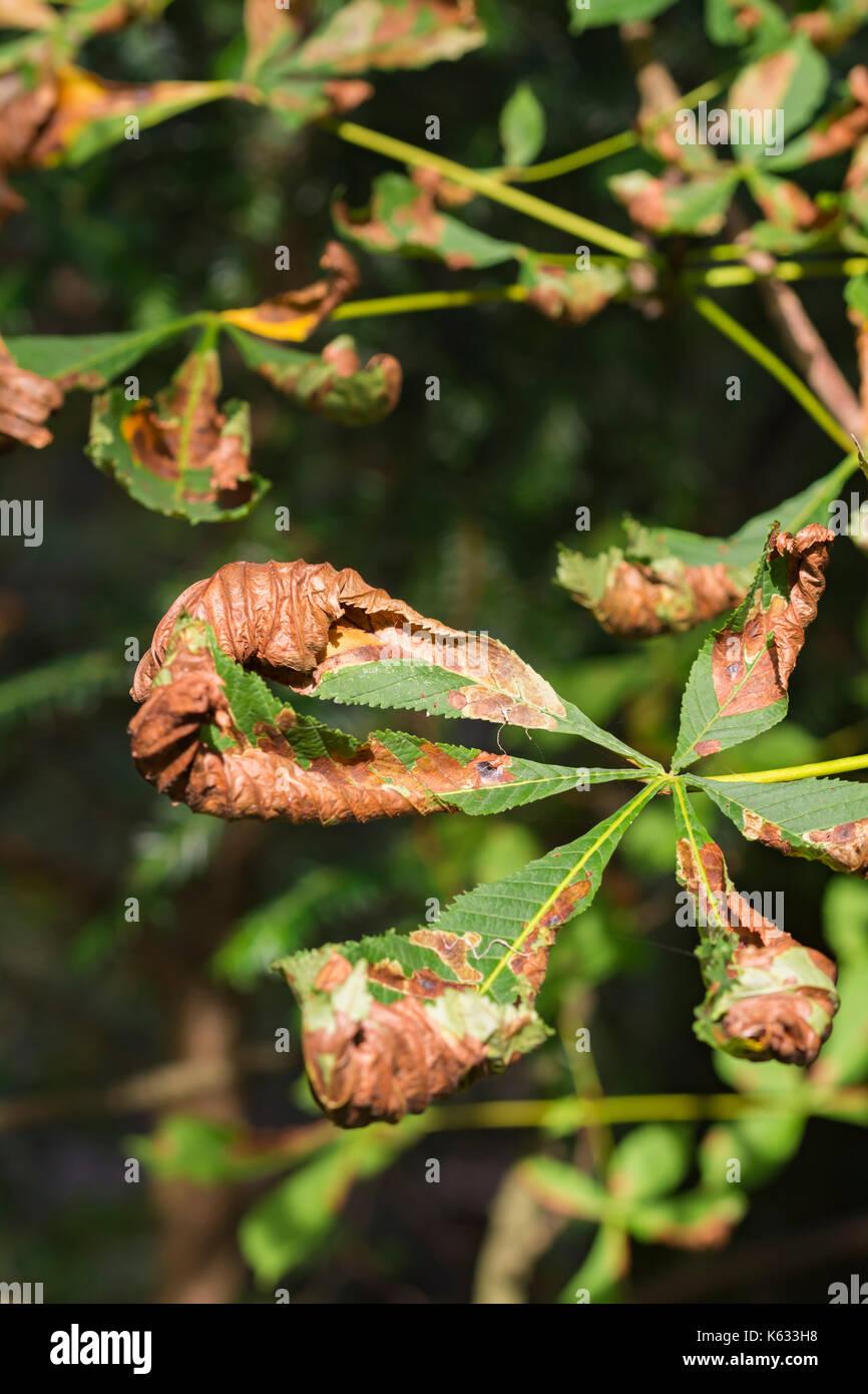 Hojas de Otoño moribundo todavía en un árbol en el inicio de otoño en el Reino Unido. Concepto de fin de temporada. Foto de stock