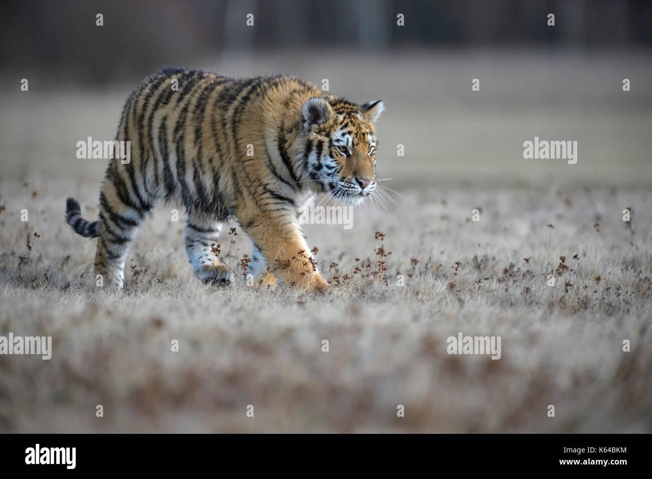 Tigre siberiano (Panthera tigris altaica), se ejecuta en una pradera cercana, cautiva, Moravia, República Checa Foto de stock