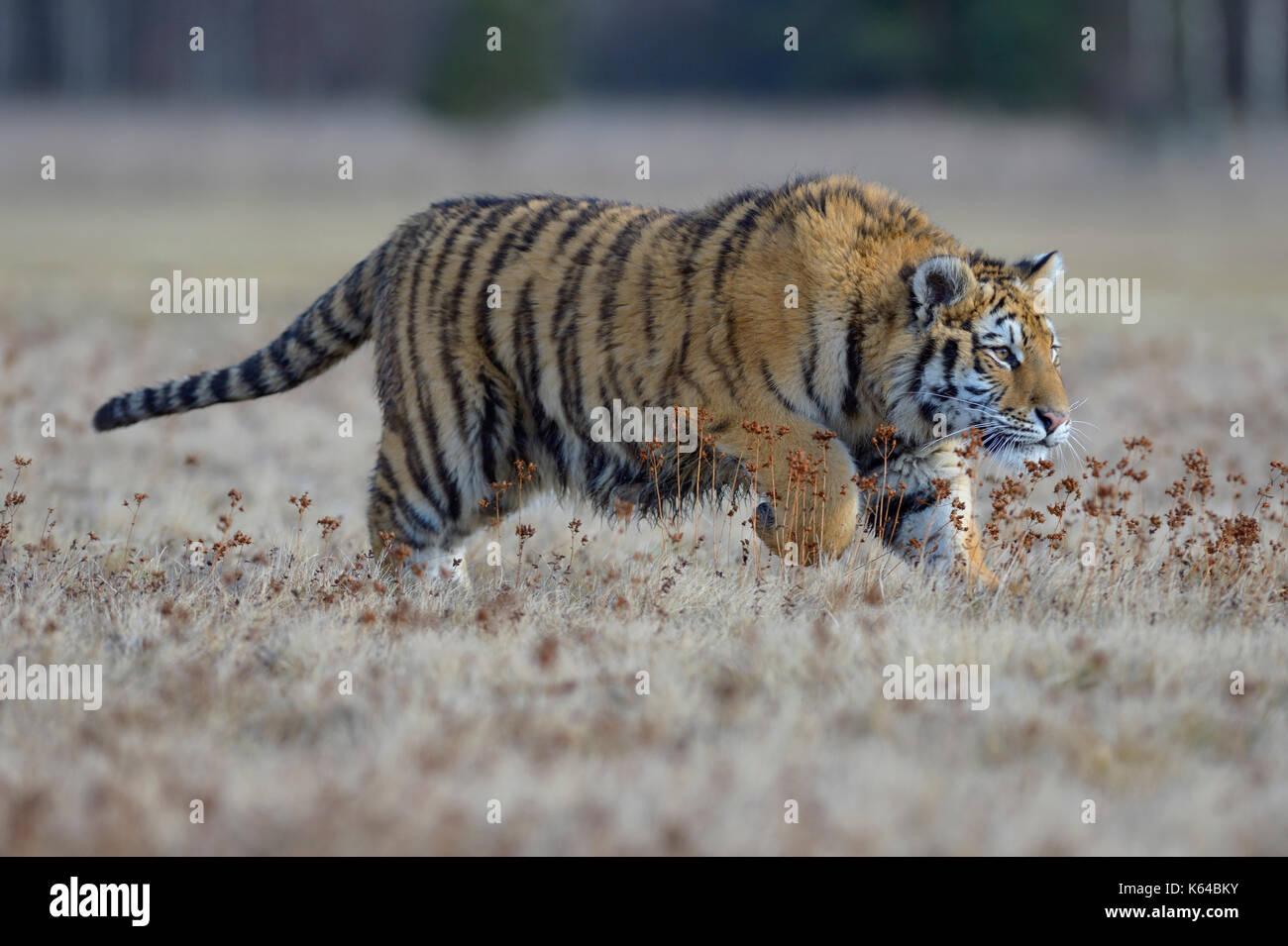 Tigre siberiano (Panthera tigris altaica), saltando en una pradera cercana, cautiva, Moravia, República Checa Foto de stock