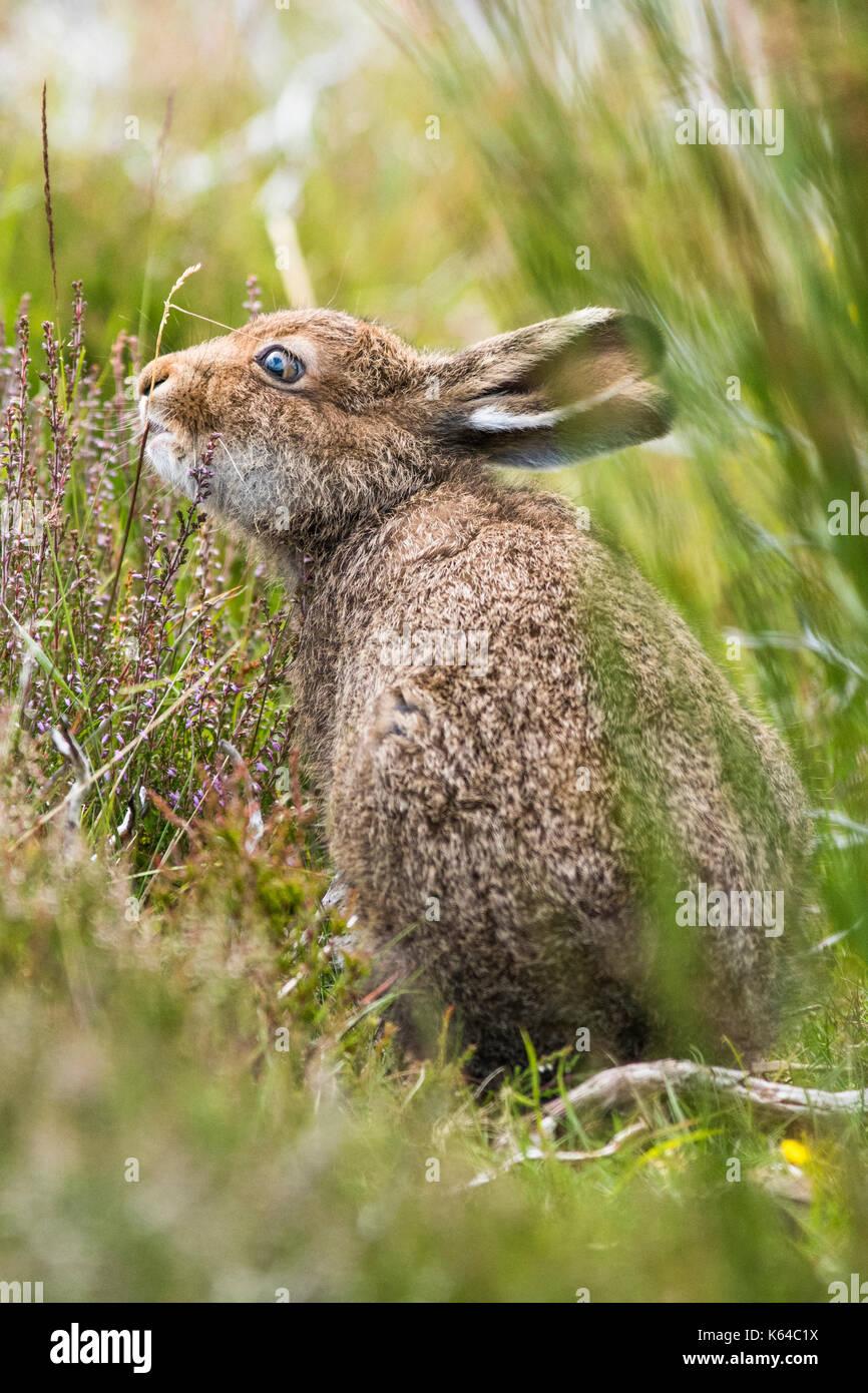 La liebre de montaña (Lepus timidus) come, abrigo de verano, parque nacional cairngroms, Highlands, Escocia, Gran Bretaña Imagen De Stock