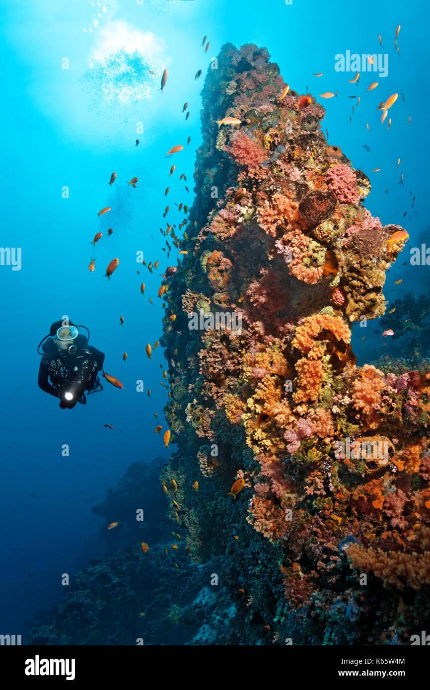 Los buceadores, extraño, arrecifes de coral, de bloques de coral, densamente cubierto, bajo animales, diversos, rojo, corales blandos (dendronephthya sp.) y Imagen De Stock
