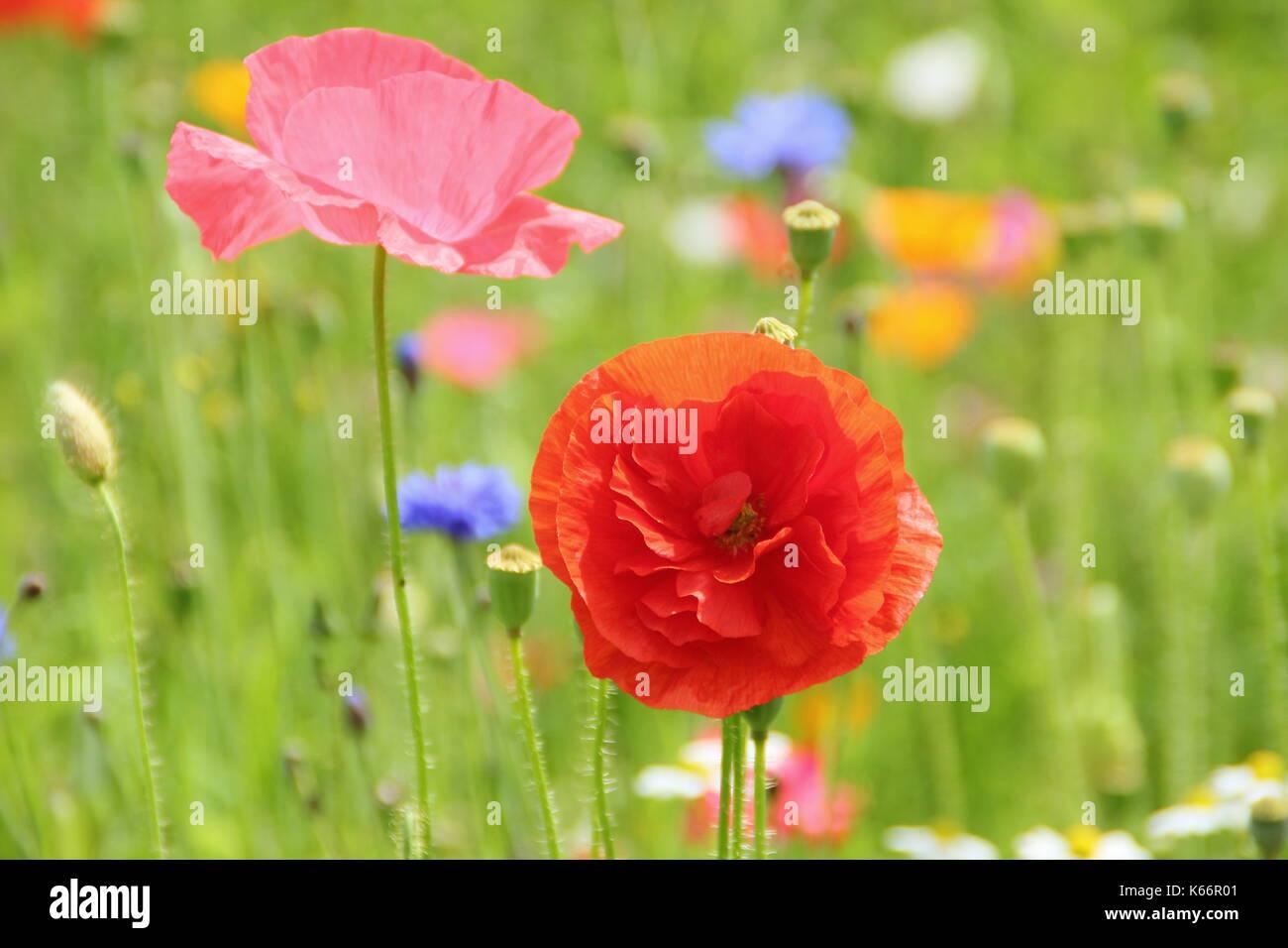 True Shirley amapola (Papaver rhoeas), con pétalos de seda y colores pastel en una pradera wildflower cultivadas a la altura de un Inglés de verano Foto de stock