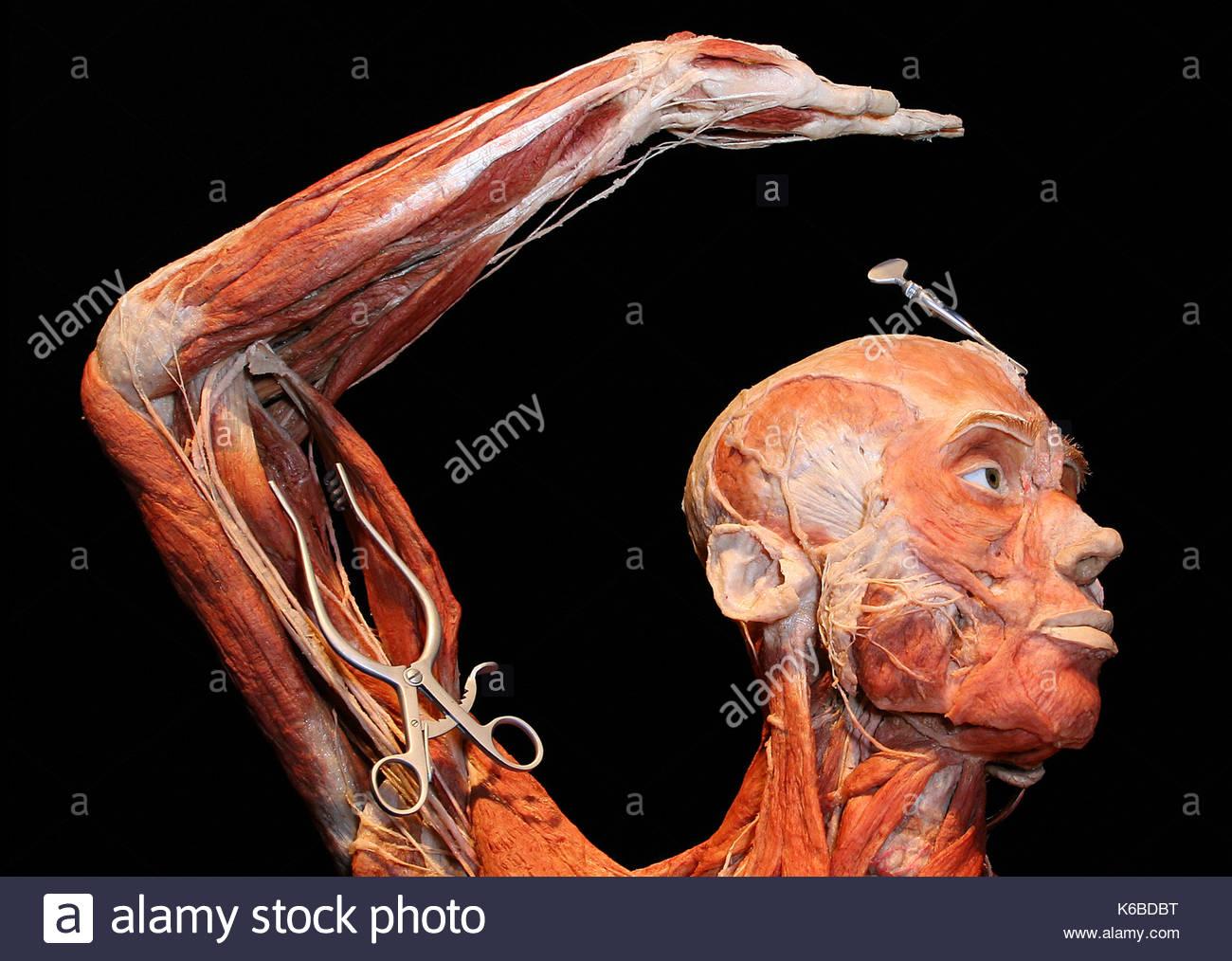 Estatua del cuerpo. El Dr. Gunther von Hagens, el famoso anatomista ...