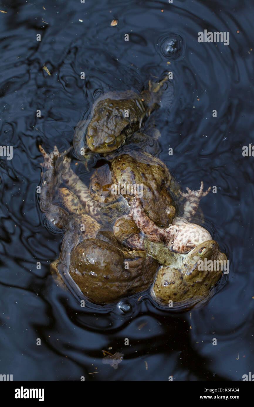 El sapo común europeo / el sapo (Bufo bufo) en una bola de apareamiento (múltiples amplexus) en el estanque de cría en primavera Imagen De Stock