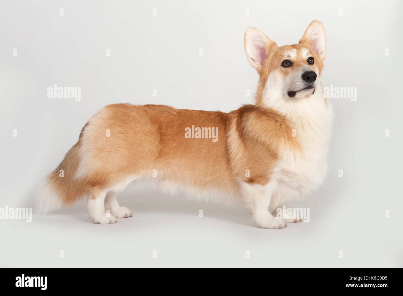 Welsh Corgi pembroke) (perro, de pie, studio, fondo blanco. Foto de stock