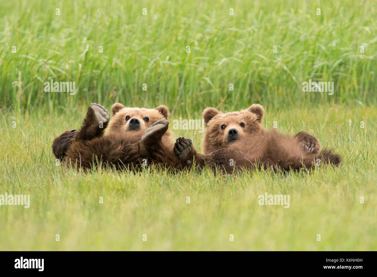 Yearling cubs reclinable Imagen De Stock