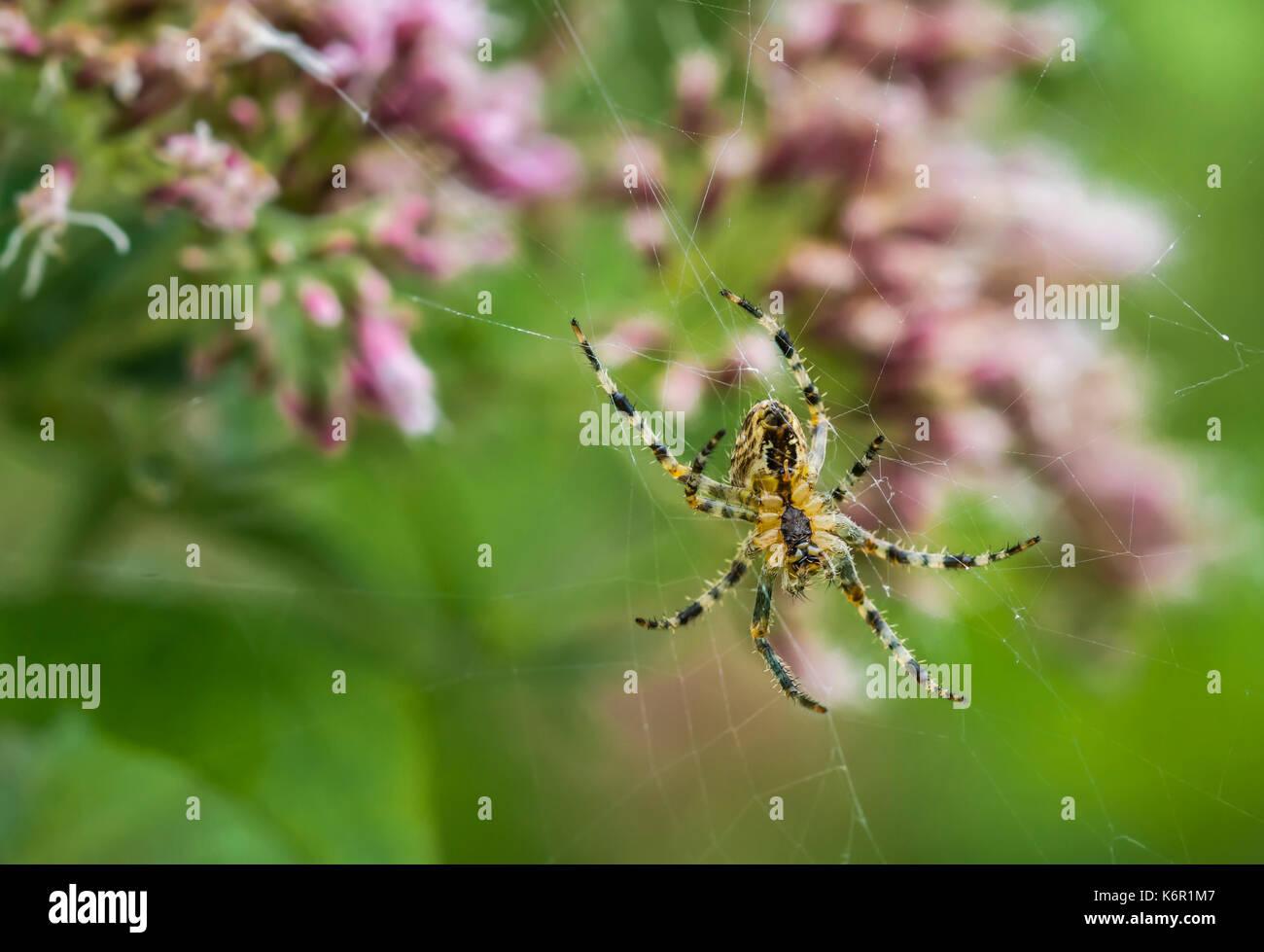 Macho de la araña de jardín (Orb Weaver, araña Araneus Diadematus, Diadema Spider) en un web en otoño en el Reino Unido. Imagen De Stock