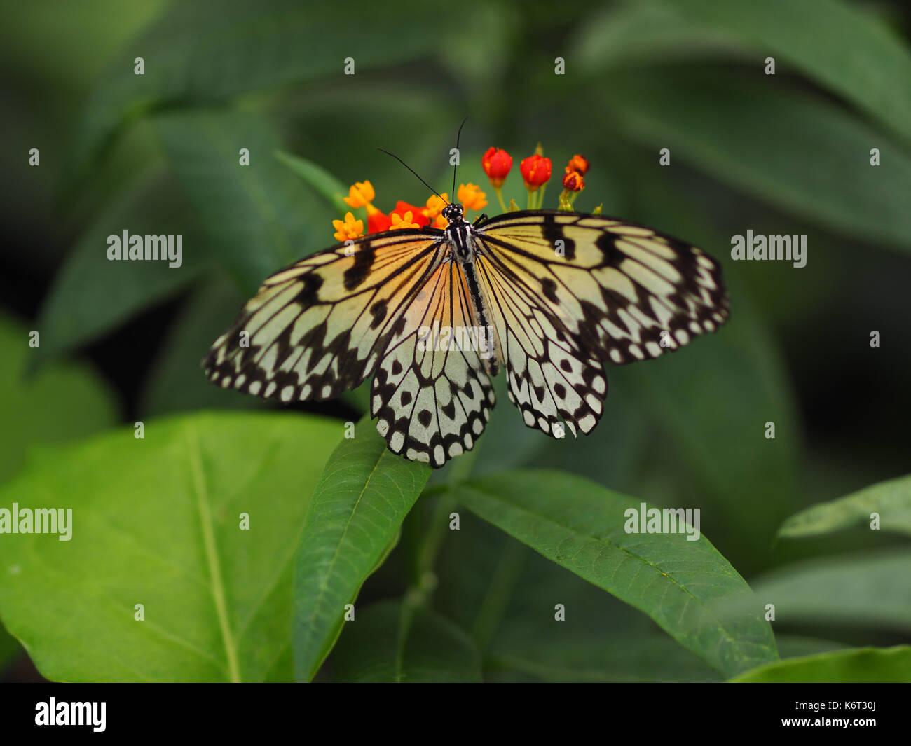 Una mariposa con las alas en blanco y negro, sentado en una pequeña ...