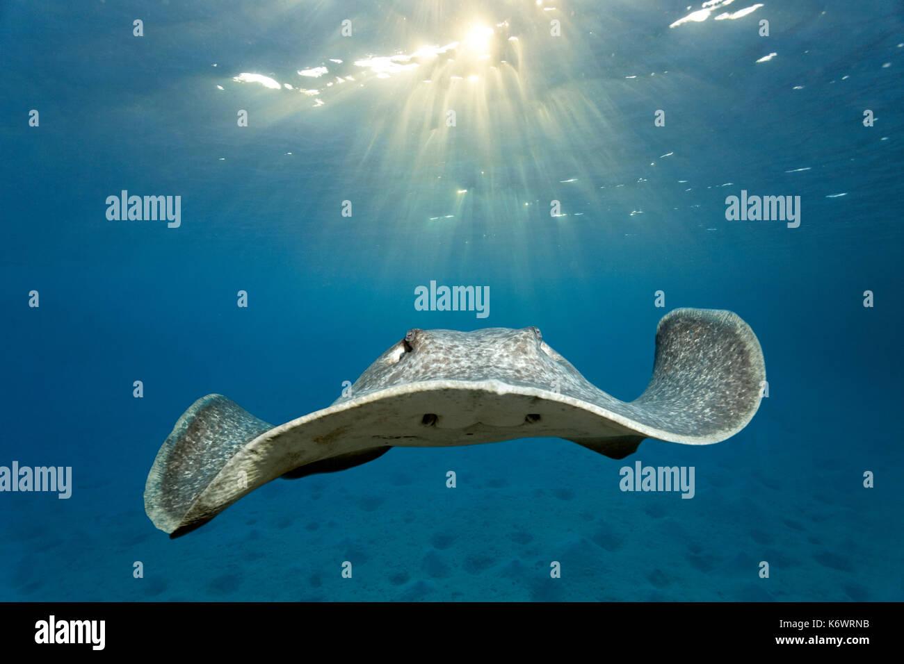 Pastinaca (taeniura blackspotted meyeni), natación sobre suelo arenoso, retroiluminado por Sun, la gran barrera de coral, la unesco Imagen De Stock
