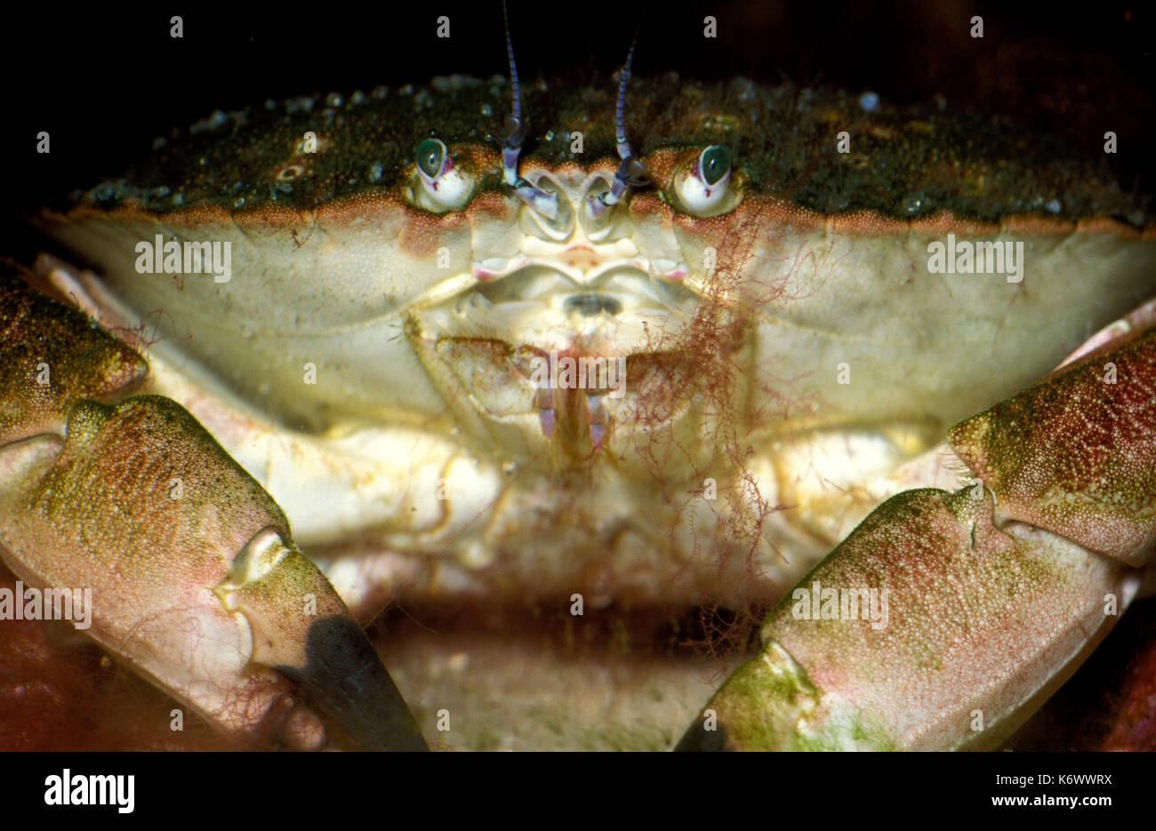 Shore, cangrejo Carcinus maenas , cerrar mostrando los ojos y la ...