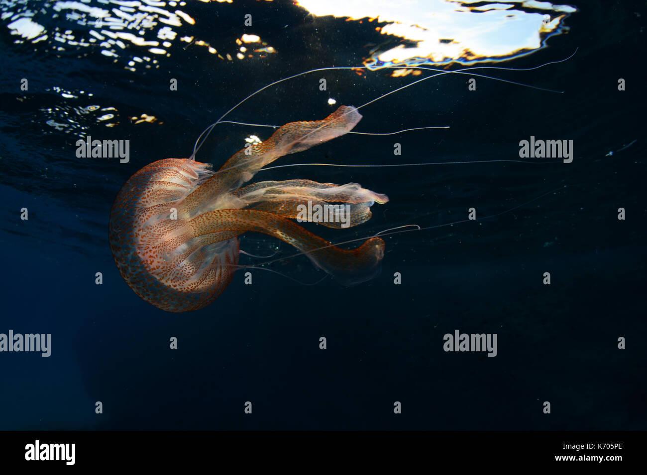 Mauve stinger medusas en Cala Balanca subacuática, Menorca Foto de stock