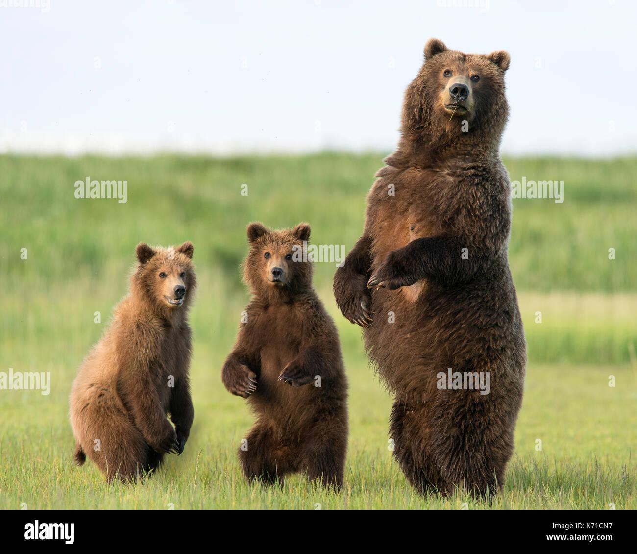 Oso Pardo sow y yearling cubs pie Foto de stock