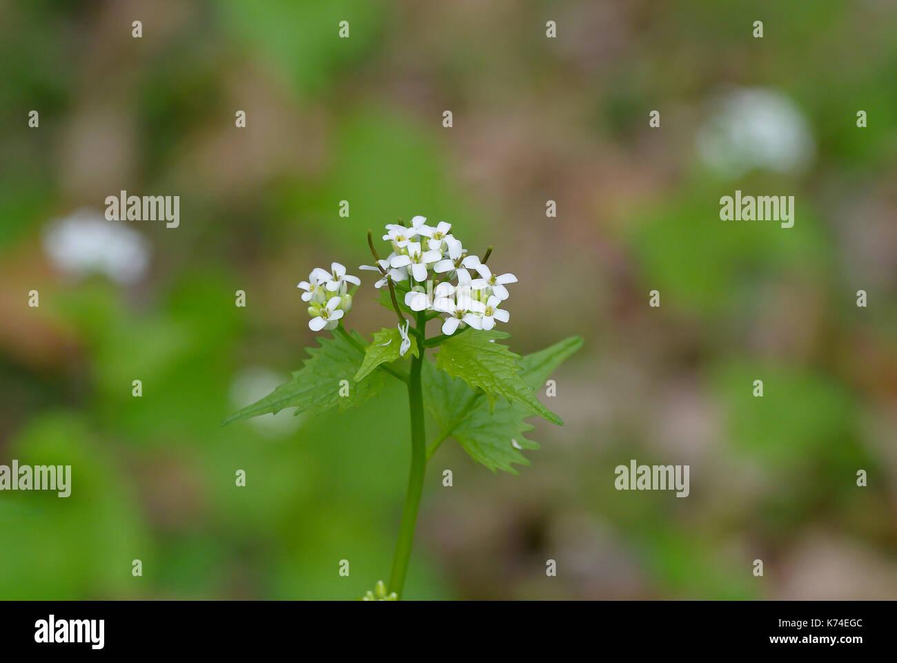 Cerca de la mostaza silvestre (invasora alliaria petiolata) que florece en primavera Foto de stock
