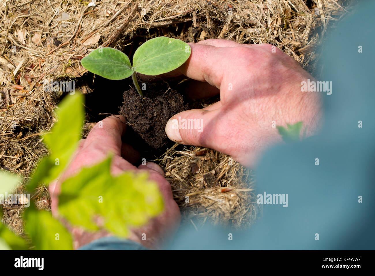 Jardinería: el hombre siembra una planta disparar Foto de stock
