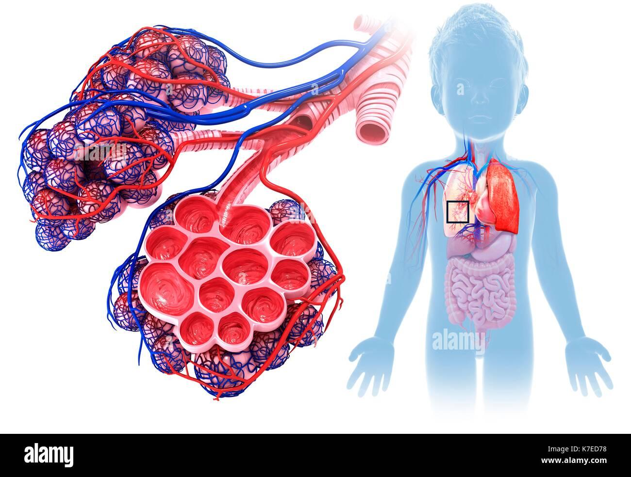 Ilustración de un niño los alvéolos y los capilares Foto & Imagen De ...