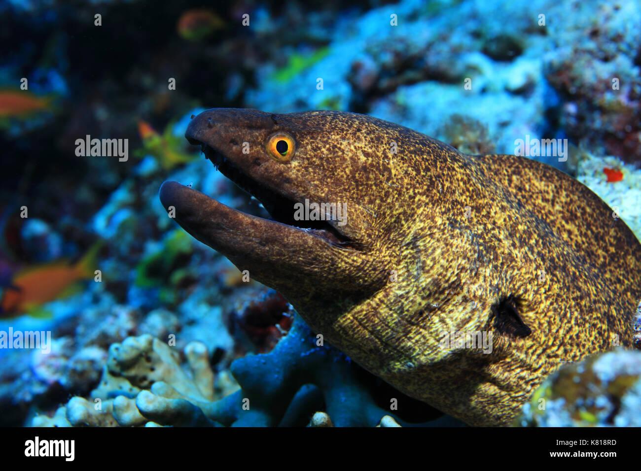 Filo-amarillo morena (gymnothorax flavimarginatus) bajo el agua, en el arrecife de coral tropical Foto de stock