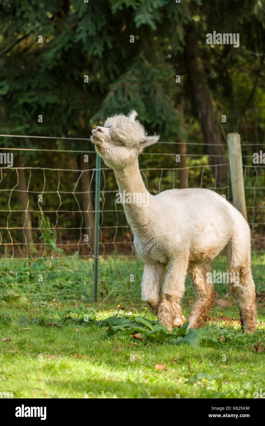 En la cascada de alpaca alpacas y estribaciones de hilados de fibra y cerca de la granja de Hood River, Oregon, USA. Esto es parar # 15 en el año 2014 fruto de bucle. Foto de stock
