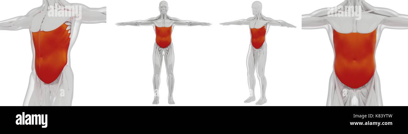 3D rendering médicamente adecuada ilustración del oblicuo externo ...