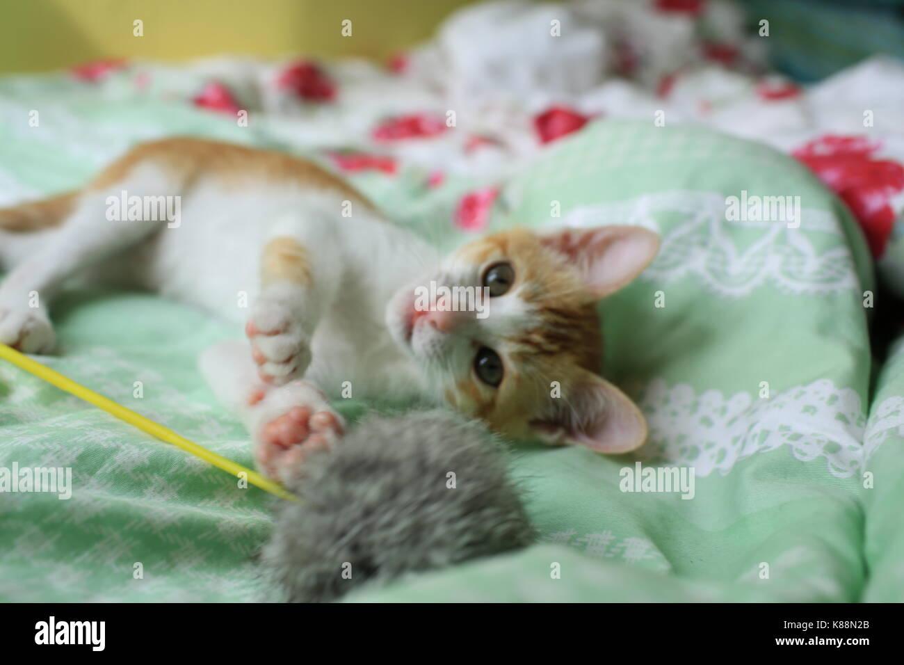 Jengibre blanco gato bebé acostarse Foto de stock