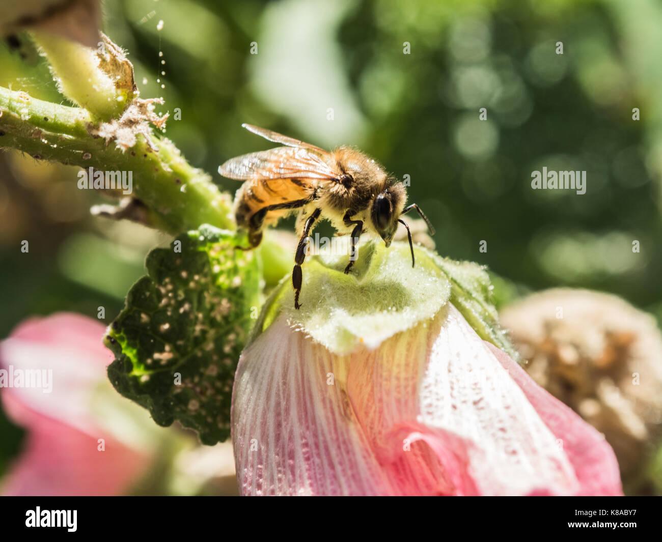 Polinizando. bonito panorama de la abeja de miel de abeja occidental polinizan flores rosadas. macro vista. Cerca. Imagen De Stock