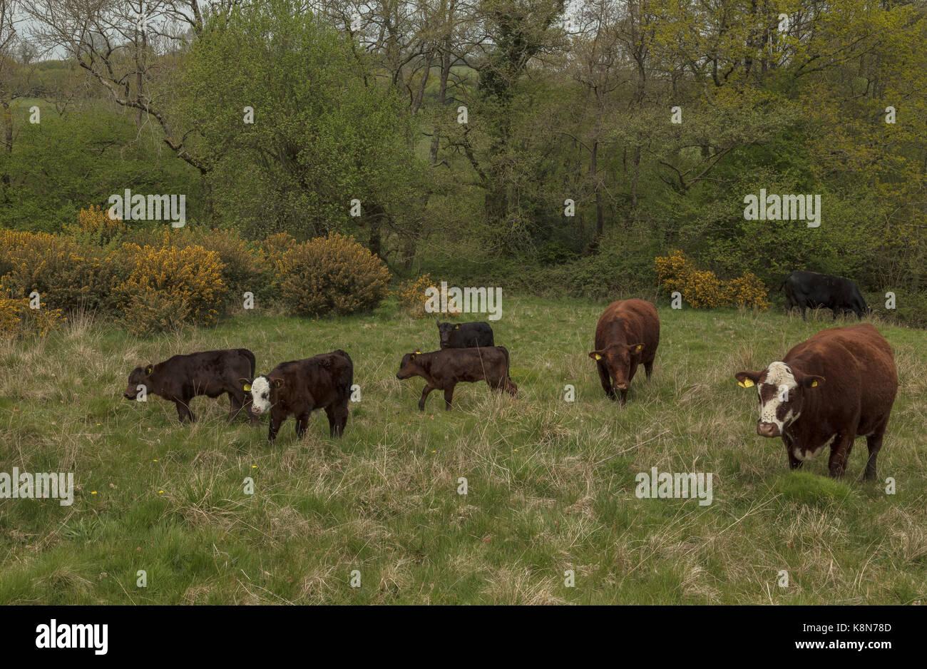 Las Shetland, el pastoreo de ganado Kingcombe Reserva Natural, Dorset Foto de stock