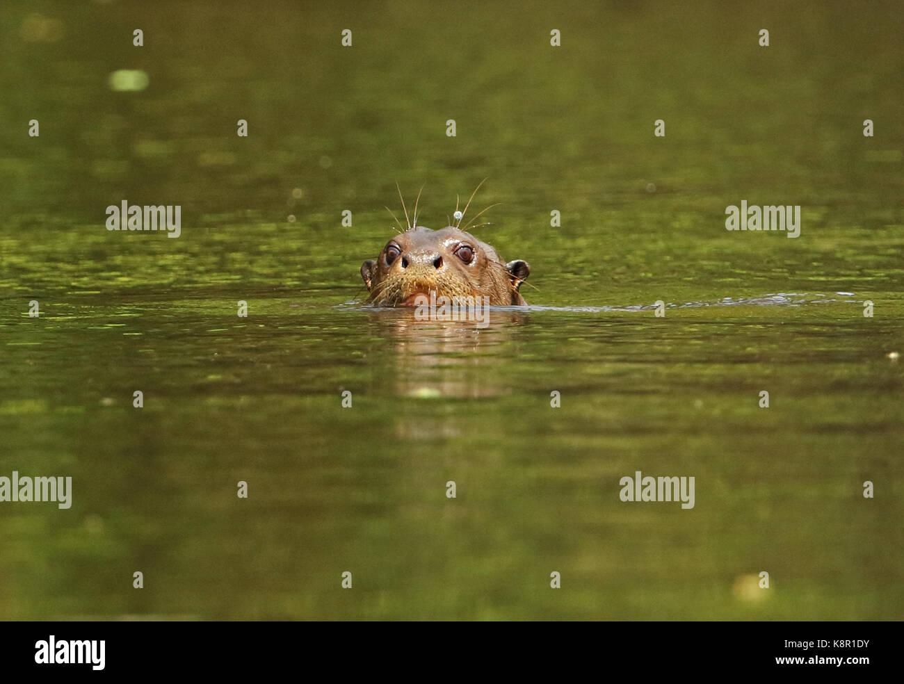 Nutria gigante (Pteronura brasiliensis) cabeza de adulto en el Río Inírida, Colombia noviembre Foto de stock