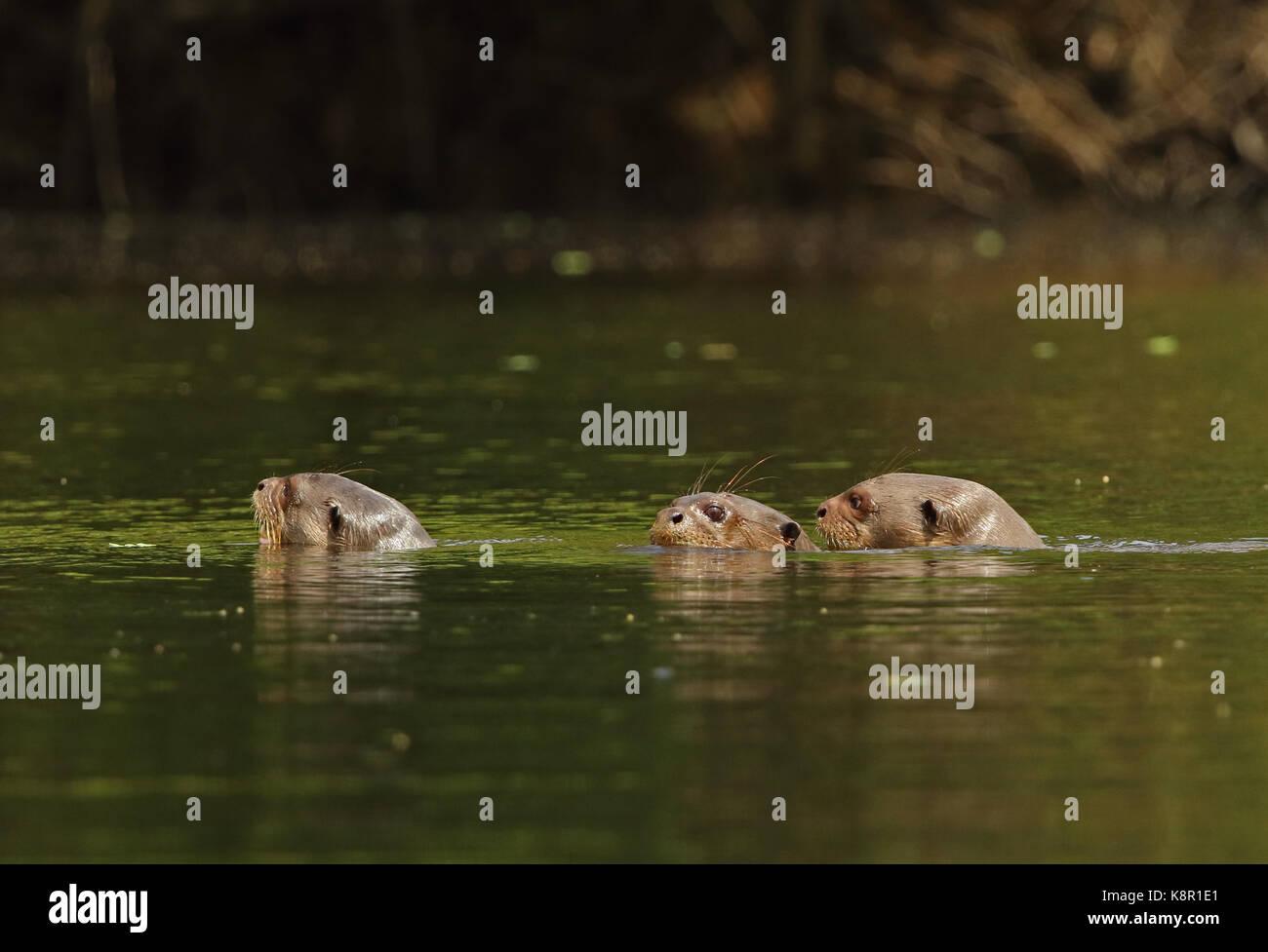 Nutria gigante (Pteronura brasiliensis) tres adultos nadar en el Río Inírida, Colombia noviembre Foto de stock