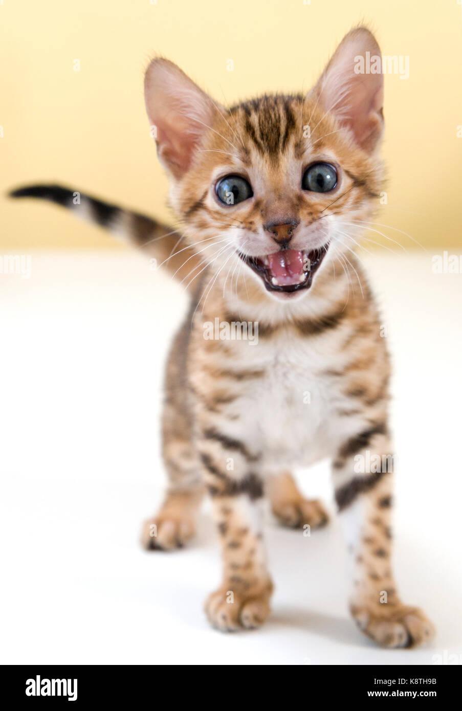 Los jóvenes Bengala gato kitten maullido gritando mirando directamente a la cámara Imagen De Stock