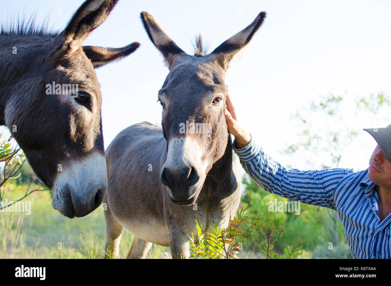 Agricultor acariciándole cute mini burros en la Texas rural rancho. Foto de stock