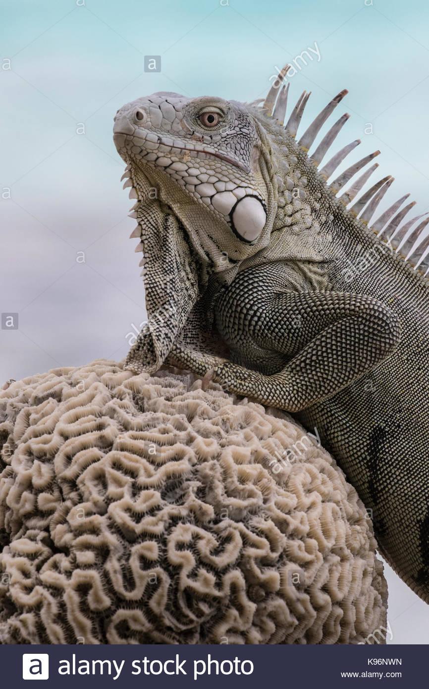 La iguana verde, Iguana iguana, descansa a lo largo de la costa de Bonaire en una pieza seca de coral cerebro. Imagen De Stock