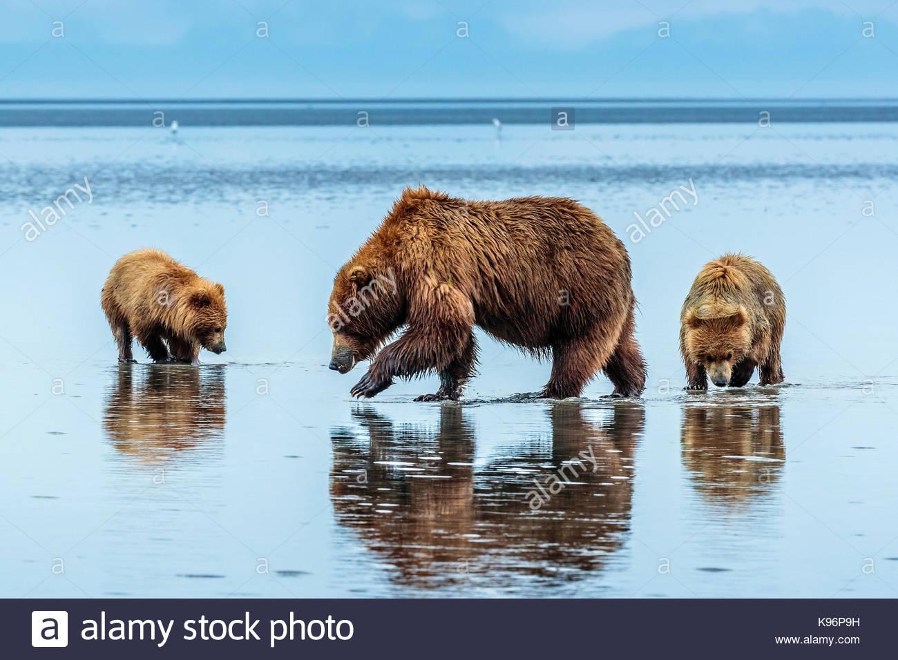 Osos pardos costeros, Ursus arctos, cavar y comer almejas en Sliver Salmon Creek en Lake Clark National Park, Alaska. Imagen De Stock