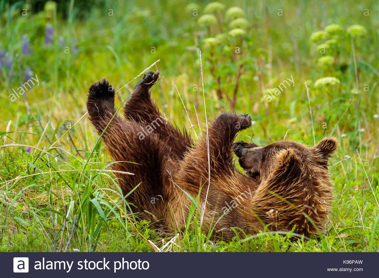 Playtime, costera, oso pardo Ursus arctos, cub rollos en la hierba en Sliver Salmon Creek en Lake Clark National Imagen De Stock