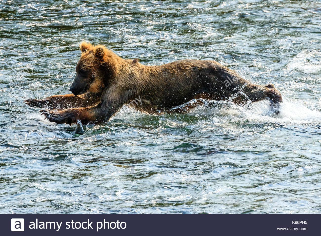 Yearling oso pardo, Ursus arctos, la pesca del salmón a continuación Brooks Falls. Imagen De Stock