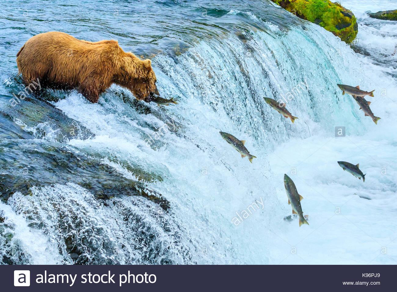 Oso Pardo, Ursus arctos, pesca de salmones sockeye riachuelos cae. Imagen De Stock