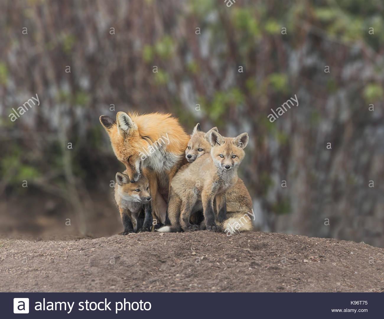 Un grupo de kits, el zorro Vulpes vulpes, con los adultos y cachorros pegado y asearse. Imagen De Stock