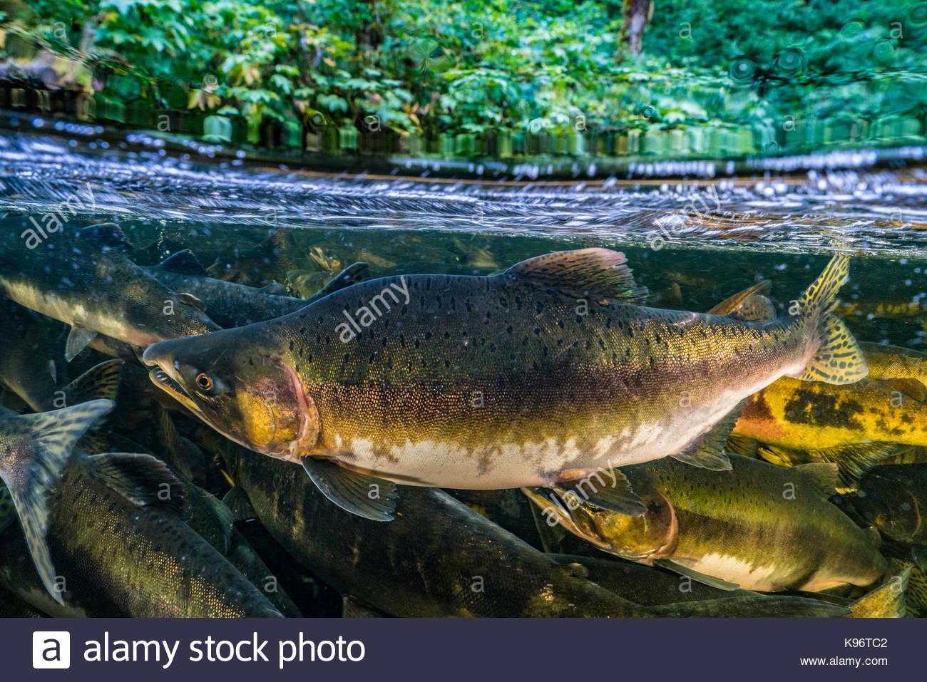 Escuela de Salmón Chinook nadan río arriba para competir para el desove. Imagen De Stock